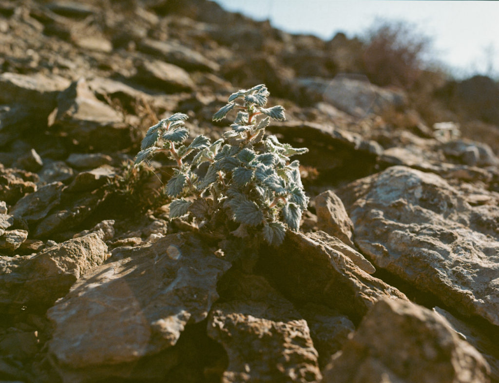 Dryland Plants shot on Portra 160 with a Mamiya 645